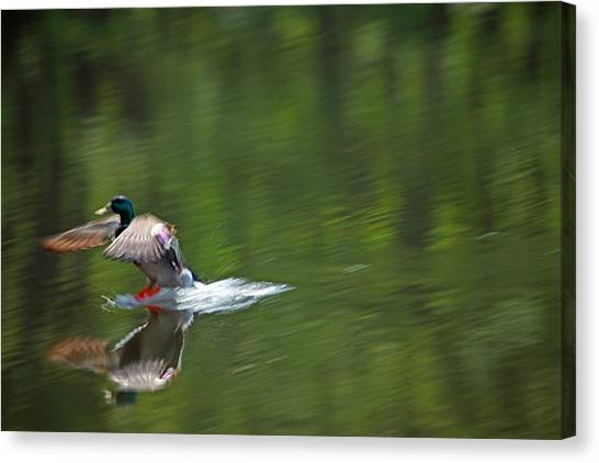 Drake Canvas Print - Mallard Splash Down by Karol Livote