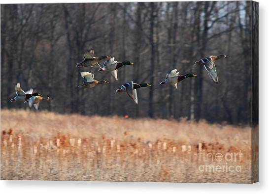 Mallards In Flight Canvas Print