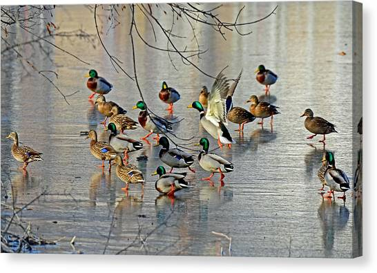Mallards On A Frozen River Canvas Print