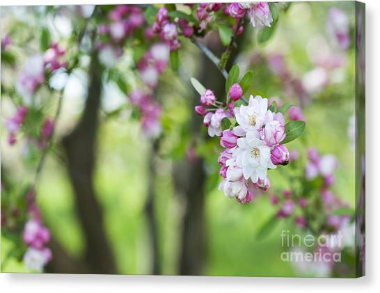 Fruit Trees Canvas Print - Malus Snowcloud Blossom by Tim Gainey
