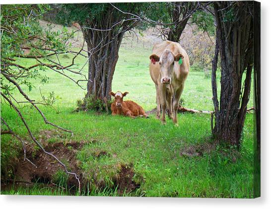 Mama Cow And Calf Canvas Print