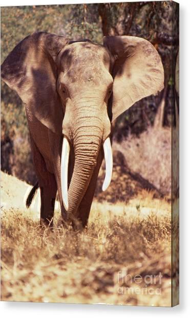 Mana Pools Elephant Canvas Print