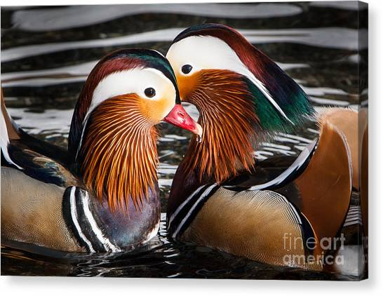 Mandarin Lovers Canvas Print