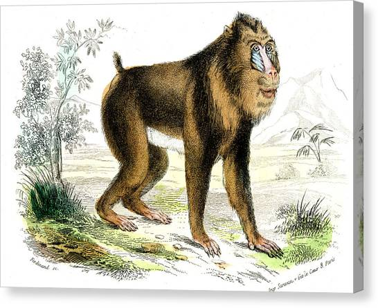 Mandrill Canvas Print - Mandrill by Collection Abecasis