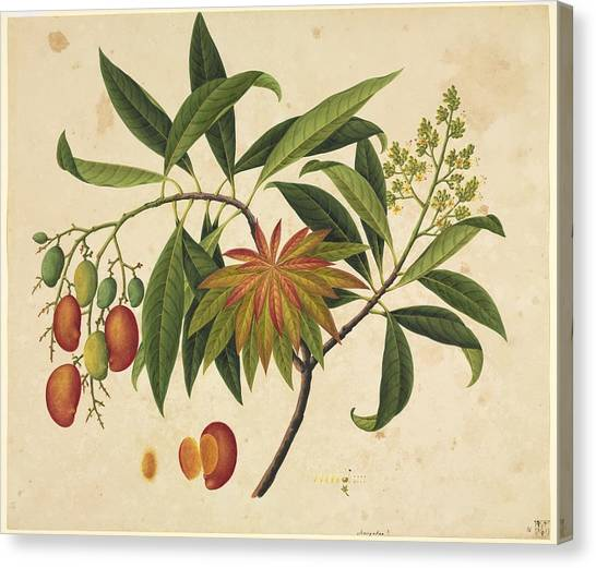 Mangos Canvas Print - Mangifera Indica, 19th-century Artwork by Science Photo Library