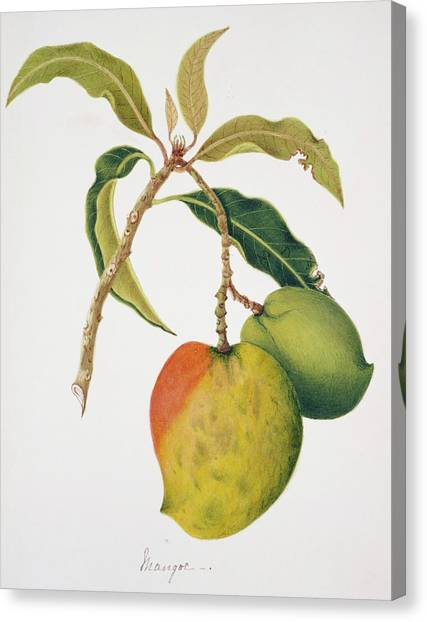 Mangos Canvas Print - Mango Fruits by Natural History Museum, London/science Photo Library