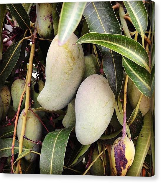 Mango Tree Canvas Print - Mango #instagram #mango #fruit #natural by Carlos Eduardo Rosales