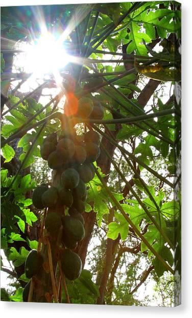 Mango Tree Canvas Print - Mango Light by Julie Kalua
