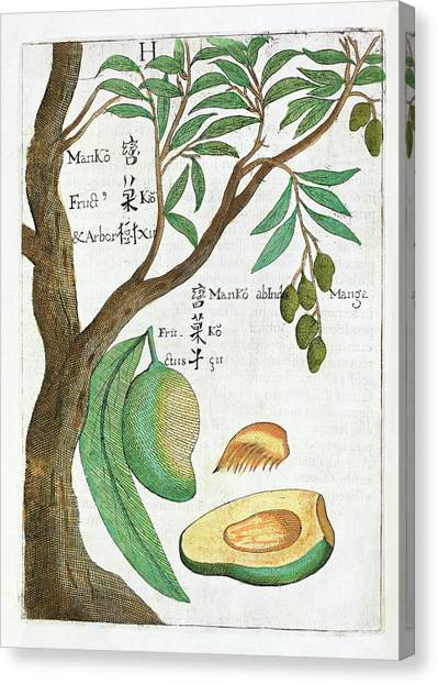 Fruit Trees Canvas Print - Mango Tree And Fruit by Natural History Museum, London