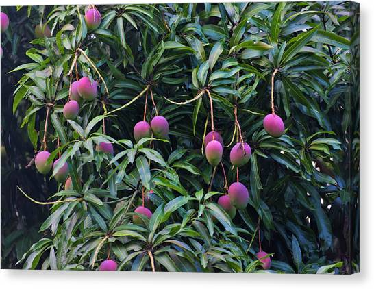 Mango Tree Canvas Print - Mango Tree, Honduras by Keren Su