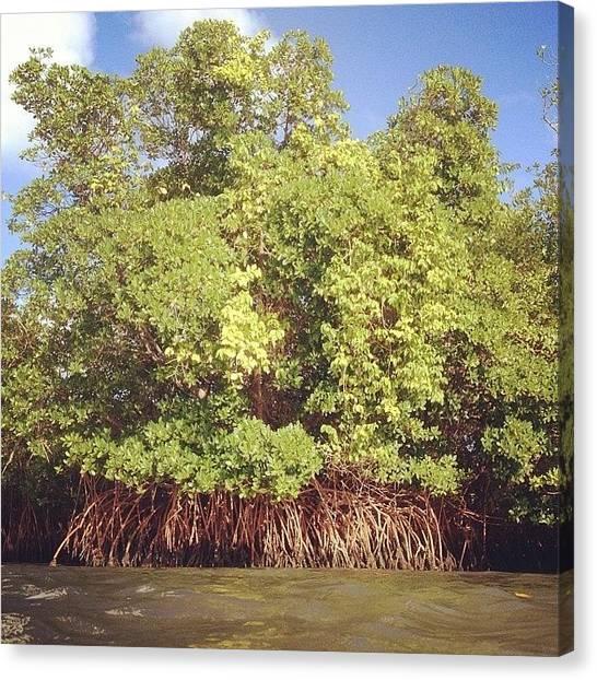 Mangrove Trees Canvas Print - #mangrove by Mathieu Bourgeois