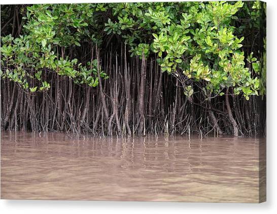 Mangrove Trees Canvas Print - Mangrove Roots by Martin Rietze
