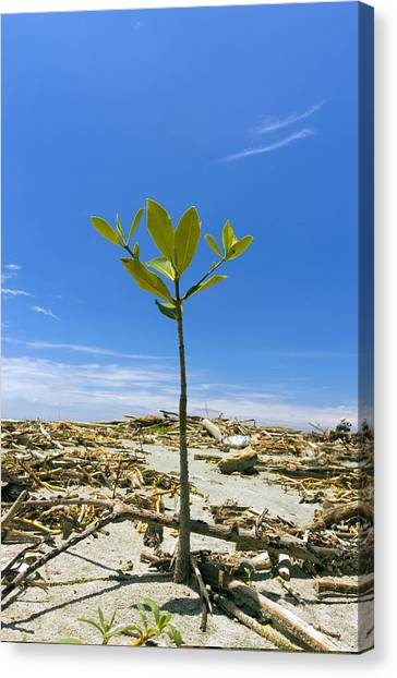 Mangrove Seedling On A Beach Canvas Print by Science Photo Library