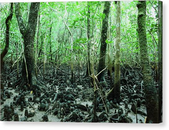 Mangrove Trees Canvas Print - Mangrove Tree by Andrew Mcclenaghan/science Photo Library.