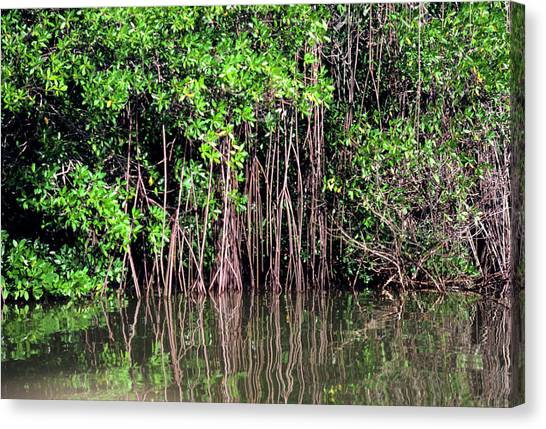 Mangrove Trees Canvas Print - Mangrove Tree In Swamp Off Venezuela by Dr Morley Read/science Photo Library