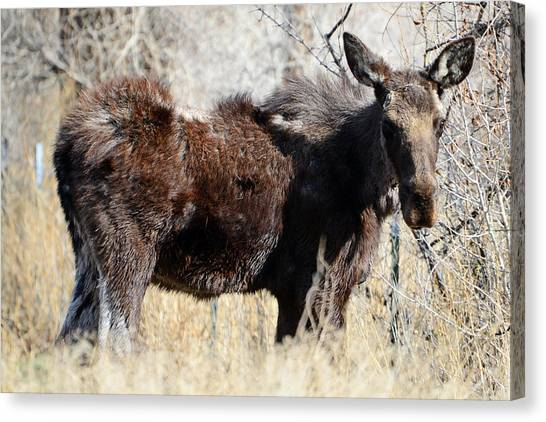 Mangy Moose Canvas Print