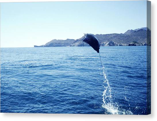 Pigmy Canvas Print - Manta Ray Above Sea Of Cortez, Mexico by Louisa Preston