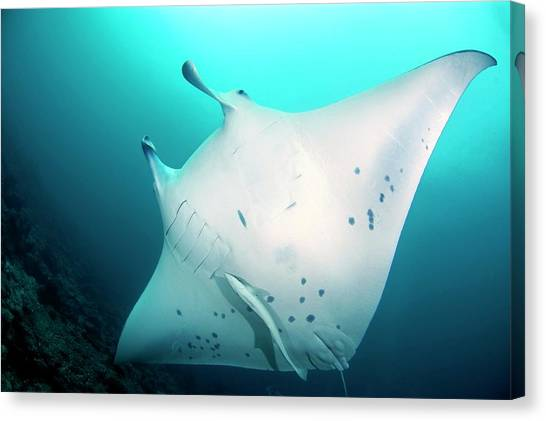 Manta Ray And Remoras Canvas Print by Scubazoo/science Photo Library