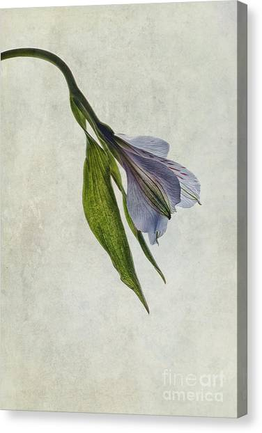 Peruvian Canvas Print - Mantis Lily by John Edwards