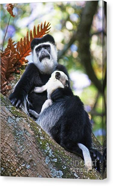 Mantled Guereza Mother And Baby Canvas Print by Brian Gadsby