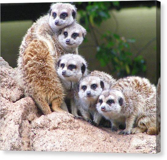 Many Meerkat Sentries Canvas Print