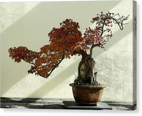Maple Bonsai Canvas Print