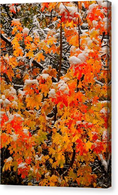 Canvas Print featuring the photograph Maple Glow Limited Edition by Greg Norrell