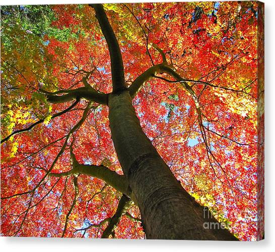Maple In Autumn Glory Canvas Print