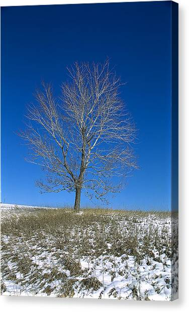 Maple In Winter Canvas Print