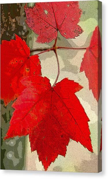 Maple Leaf Display Canvas Print