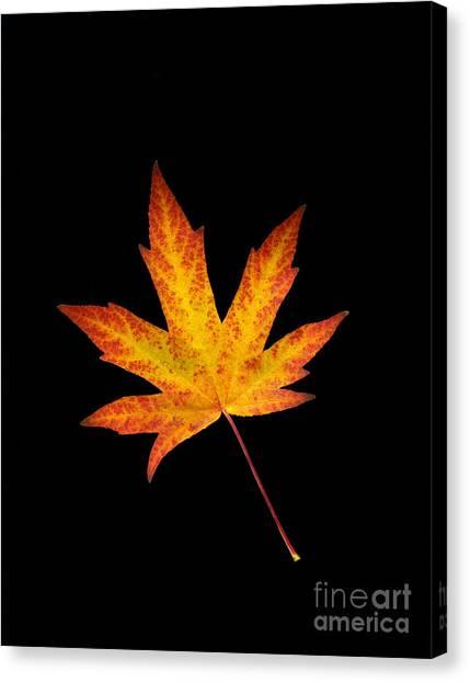 Maple Leaf On Black Canvas Print