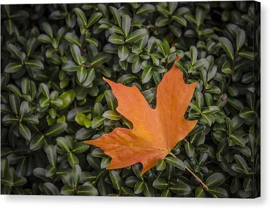 Maple Leaf On Boxwood Canvas Print