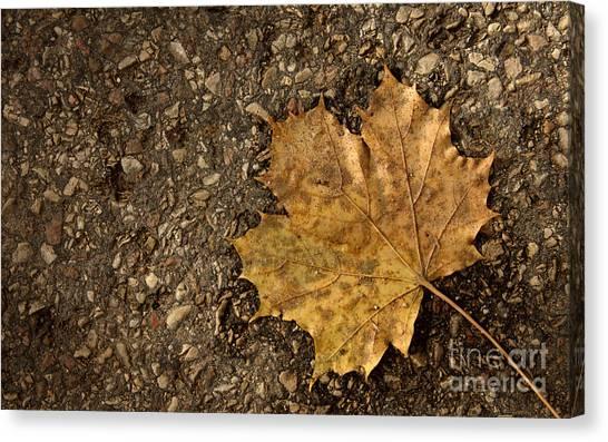 Maple Leaf On The Ground Canvas Print by Jolanta Meskauskiene