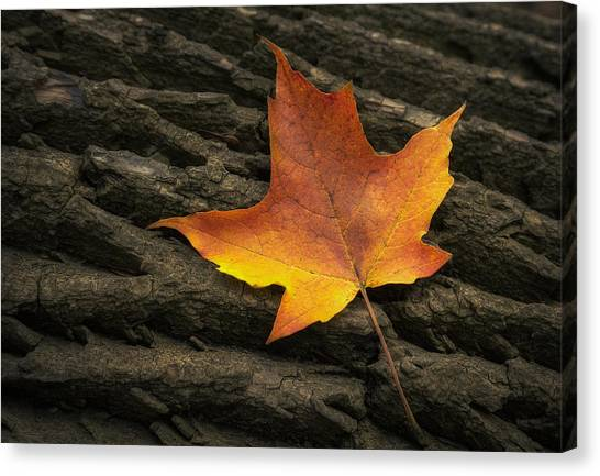 Amber Canvas Print - Maple Leaf by Scott Norris