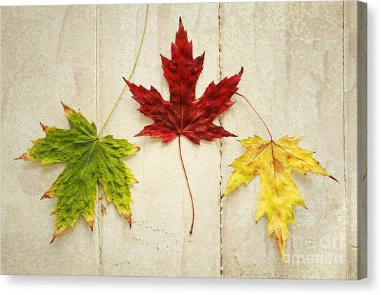 Maple Leave Canvas Print by Isabel Poulin