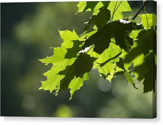 Maple Leaves In Summer Canvas Print