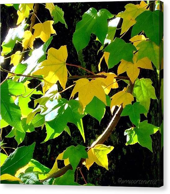 Autumn Leaves Canvas Print - Maple Leaves In Sunlight by Anna Porter