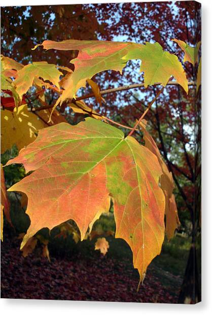 Maple Leaves Canvas Print by Michel Mata