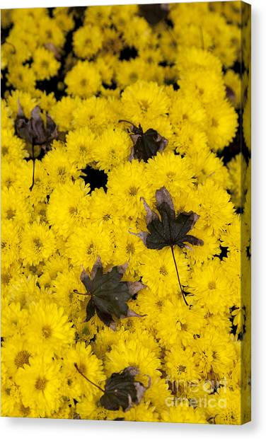 Maple Leaves On Chrysanthemum Canvas Print