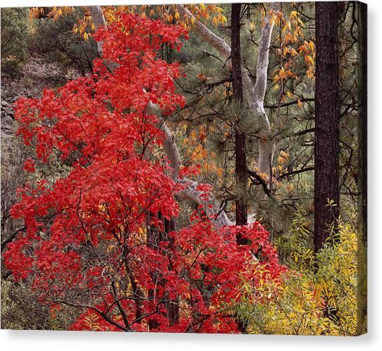 Maple Sycamore Pine-h Canvas Print
