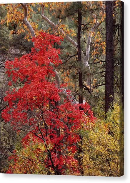 Maple Sycamore Pine Canvas Print