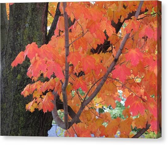 Maple Tree  Canvas Print by Lyle Crump