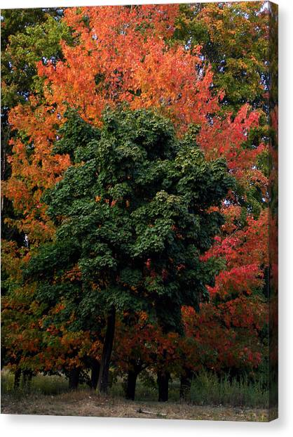 Maple Tree Variations Canvas Print by Michel Mata