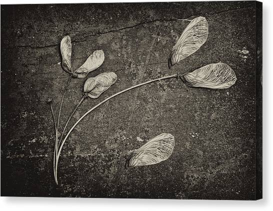 Maple Trees Canvas Print - Maple Tree Whirlybirds by Tom Mc Nemar