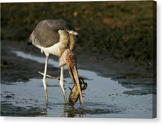 Storks Canvas Print - Marabou Stork by Dr P. Marazzi/science Photo Library