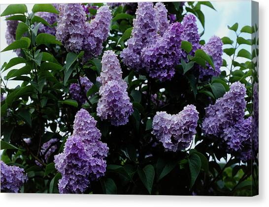 Lilac Bush Canvas Print - Marechal Foch Lilac Flowers by Adrian Thomas/science Photo Library