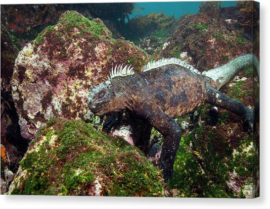 Iguanas Canvas Print - Marine Iguana by Peter Scoones/science Photo Library