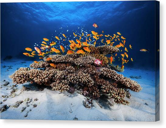 Reef Sharks Canvas Print - Marine Life by Barathieu Gabriel