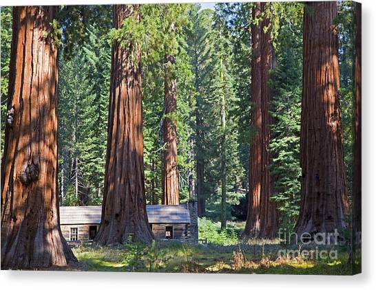 Redwood Forest Canvas Print - Giant Sequoias Mariposa Grove by John Stephens