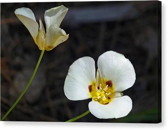 Mariposa Lilies Canvas Print